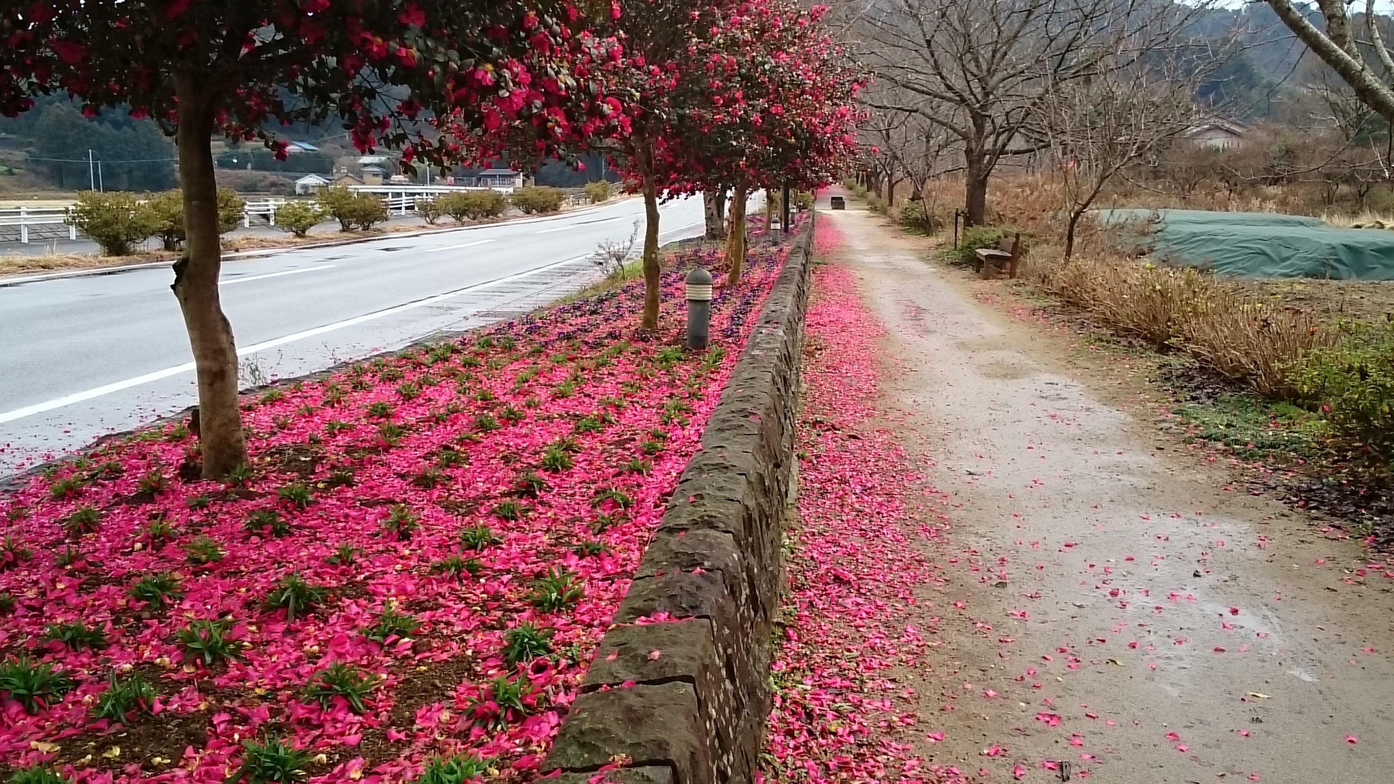 さざんか咲いた路